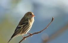 枝头小鸟图片