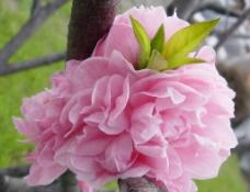 桃花 三月的桃花图片