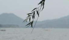 西湖的柳枝图片