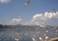 滇池边的红嘴鸥图片