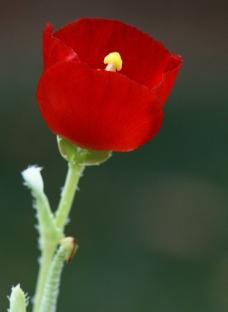 角罂粟图片