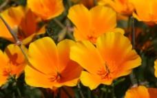加州罂粟花图片