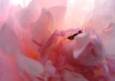 粉色牡丹花与蚂蚁图片