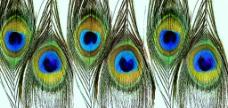 装饰用品孔雀羽毛图片