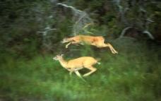 蹦跳的野鹿图片