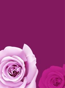 浪漫玫瑰高清图片