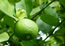绿柠檬图片