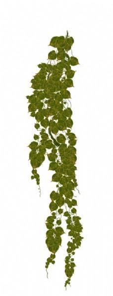 藤蔓植物图片