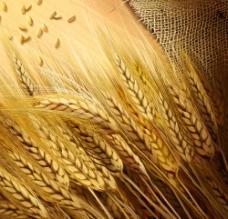 手绘麦穗图片