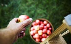 苹果熟了图片