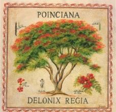 凤凰木花树绘画图片