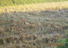 秋收后的草鸡图片