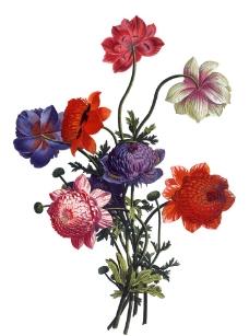手绘菊花图片