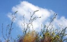蓝天白云 植物图片