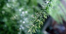 绿植文竹图片