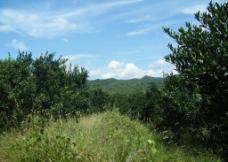 柚子林图片