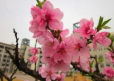 粉桃花图片