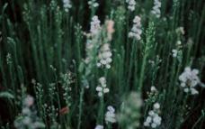 绿草白花图片