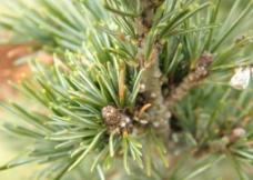 小松樹圖片